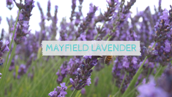 Visiting Mayfield Lavender